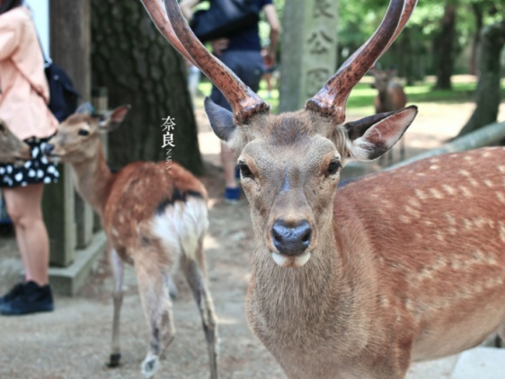大阪的美食奈良的鹿!