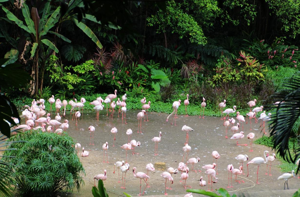 【8只小猪】新加坡裕廊飞禽公园 新加坡动物园 夜间野生动物园一日游