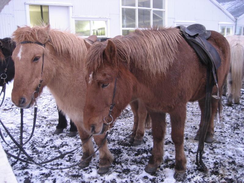 体验冰岛骑马